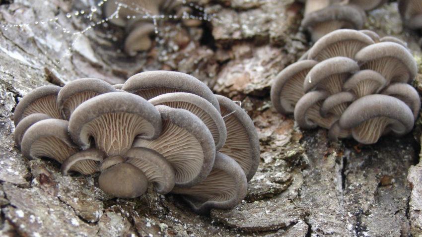Image for Mushrooms for Food & Medicine
