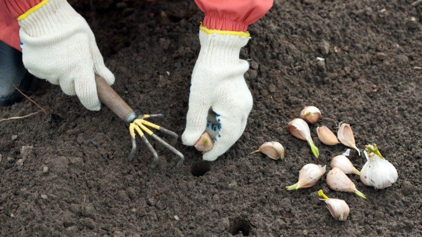 Image for Growing Garlic